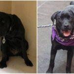 Aizkustinoši: 15 suņu un kaķu fotogrāfijas pirms un pēc patversmes 11