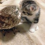Neparastā draudzība: Kaķēns un pūču mazulis ir nešķirami 5