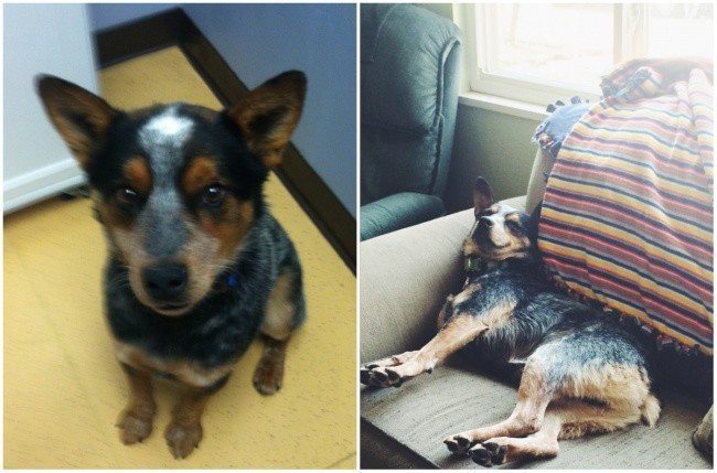 Aizkustinoši: 15 suņu un kaķu fotogrāfijas pirms un pēc patversmes 3