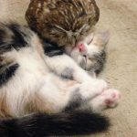 Neparastā draudzība: Kaķēns un pūču mazulis ir nešķirami 6