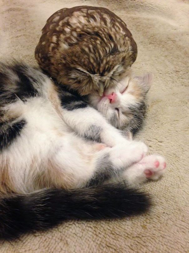 Neparastā draudzība: Kaķēns un pūču mazulis ir nešķirami 1