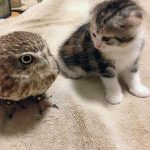 Neparastā draudzība: Kaķēns un pūču mazulis ir nešķirami 7