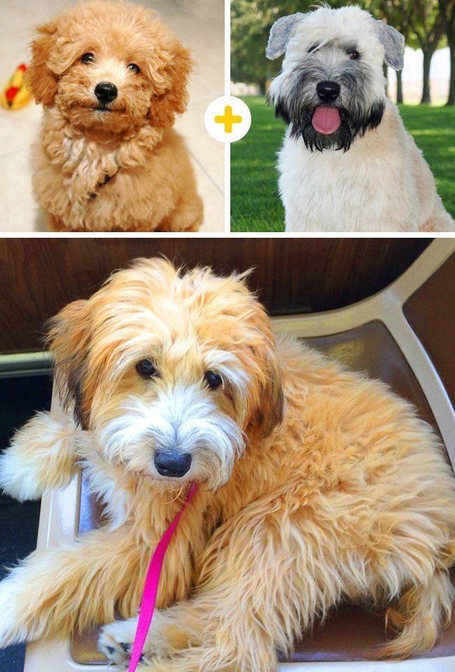 15 amizanti suņuki, kuri radušies pēc negaidītas sapārošanās 7