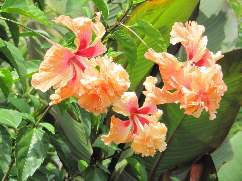 Hibiscusrosa – sinensis