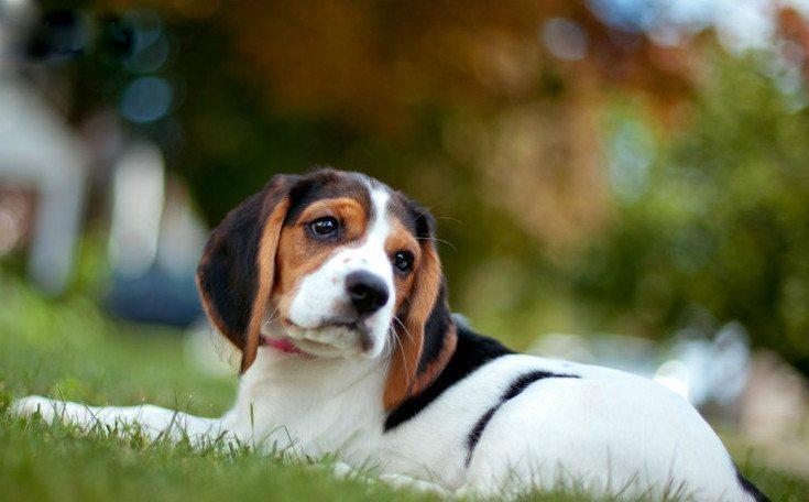 12 apbrīnojami labsirdīgu un draudzīgu suņu šķirnes, īpaši ģimenēm ar bērniem 10
