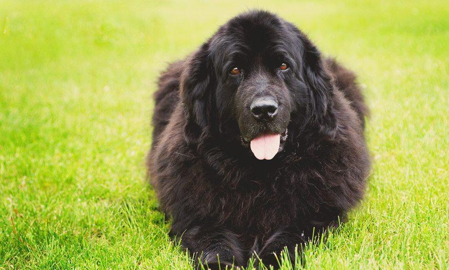 12 apbrīnojami labsirdīgu un draudzīgu suņu šķirnes, īpaši ģimenēm ar bērniem 12