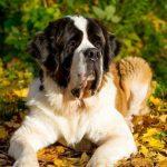 12 apbrīnojami labsirdīgu un draudzīgu suņu šķirnes, īpaši ģimenēm ar bērniem 5
