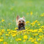 12 apbrīnojami labsirdīgu un draudzīgu suņu šķirnes, īpaši ģimenēm ar bērniem 7