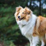 12 apbrīnojami labsirdīgu un draudzīgu suņu šķirnes, īpaši ģimenēm ar bērniem 8