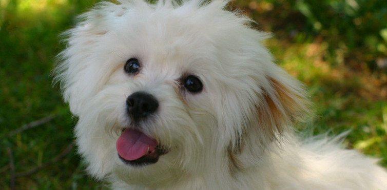 12 apbrīnojami labsirdīgu un draudzīgu suņu šķirnes, īpaši ģimenēm ar bērniem 9