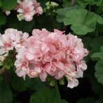 1280px-Geranium_Doubles_from_Lalbagh_Flower_Show_August_2012_4656