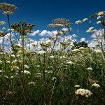 Kādi augi palīdz ātrāk izveseļoties? 1