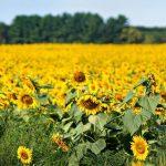 Savas sievas piemiņai vīrs iestādīja 160 hektārus ar saulespuķēm 5