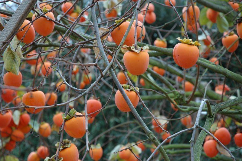 HURMA - izlasi un uzzini, cik vērtīgs ir šis auglis! 3