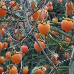HURMA - izlasi un uzzini, cik vērtīgs ir šis auglis! 1