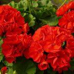 Ārstnieciskie augi, kurus jūs droši variet audzēt uz palodzes 1