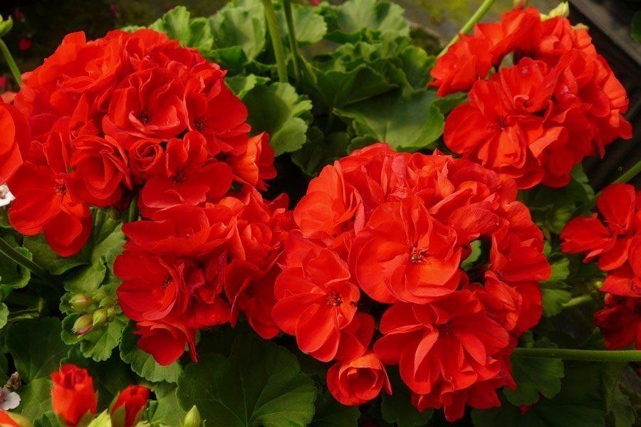Ārstnieciskie augi, kurus jūs droši variet audzēt uz palodzes 2