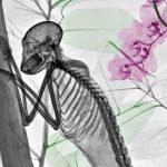 Monkey, X-ray