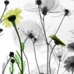 Wildflowers, X-ray