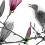 Blackbird on magnolia, X-ray