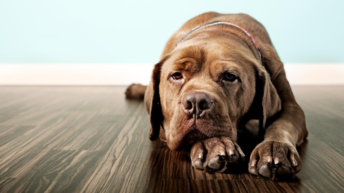 lab-mastiff-mix_fbdb6441bec9d7ec