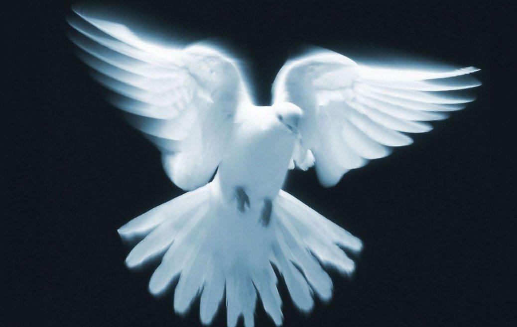 belij+golub+golubi+ptitci+zhivotnie+97016669125