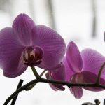 orhideja2_VS_13-664×442