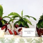 orhidejas_kukainedaji-augi11_LET-664×435