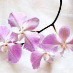 orhidejas_kukainedaji-augi17_LET-664×443