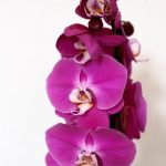 orhidejas_kukainedaji-augi22_LET