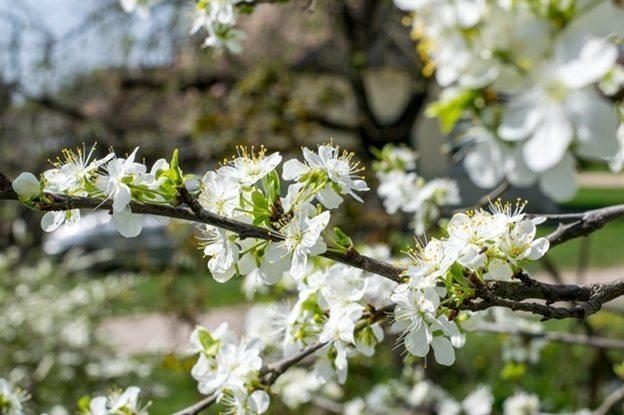 pavasara alergija