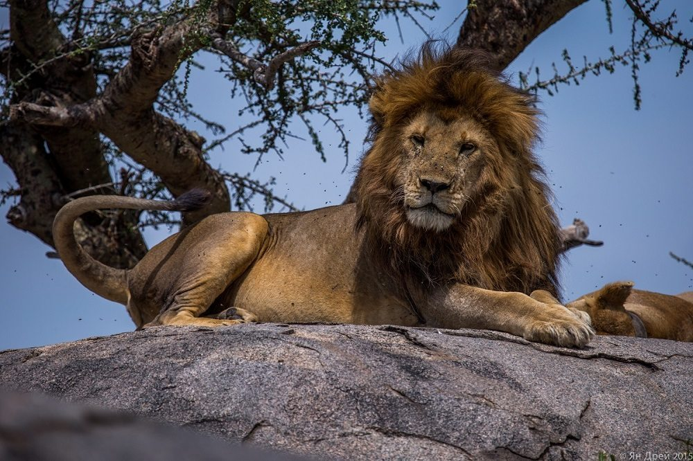 TANZANIA, AFRICA - Male lion sitting on rock and looking at the camera. (Photo Credit: National Geographic Channels/Natasha Kutukova)