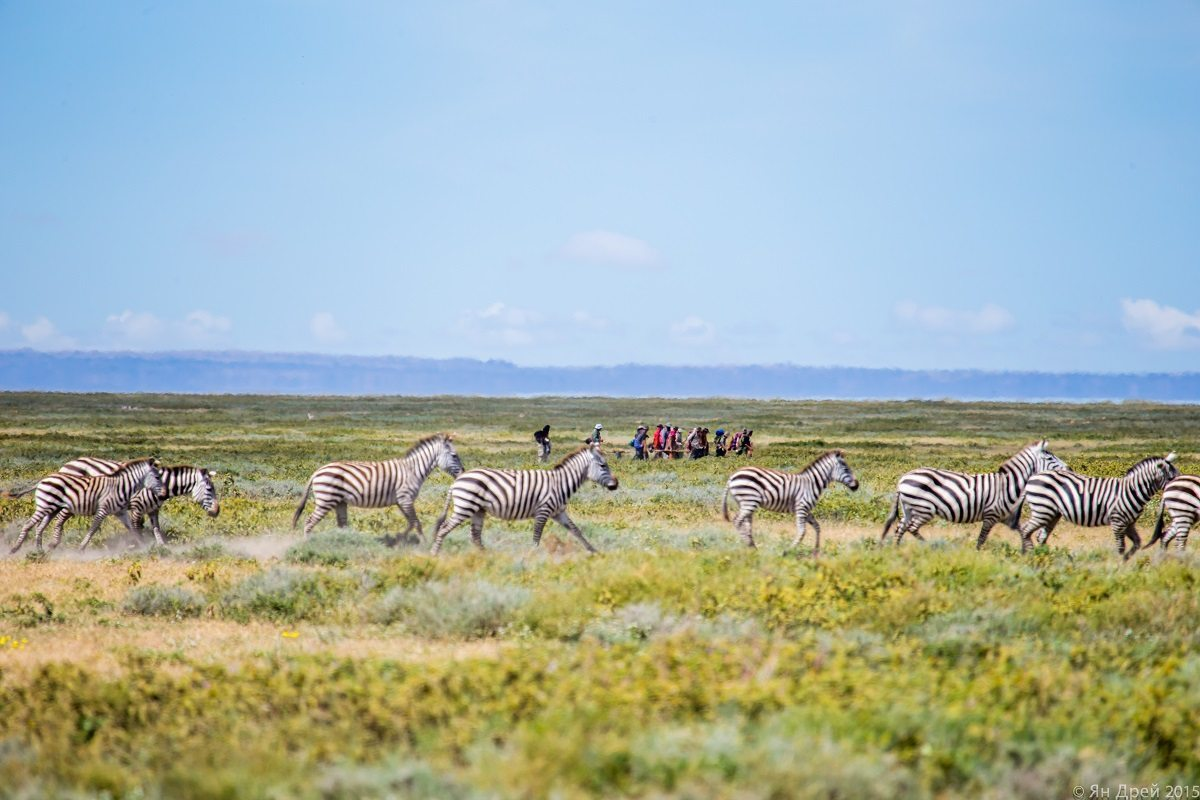 TANZANIA, AFRICA - Extreme long shot of human herd migrating with a herd of zebras in middle ground. (Photo Credit: National Geographic Channels/Natasha Kutukova)
